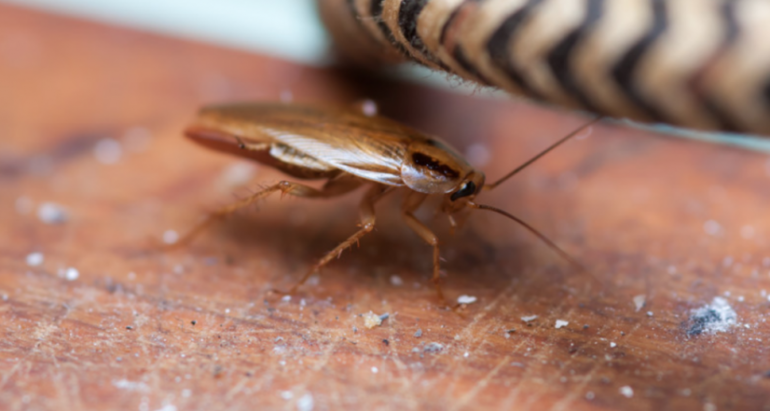 How To Get Rid Of Cockroaches In Your Home?