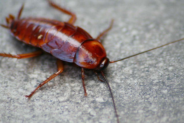 Cockroaches in North America