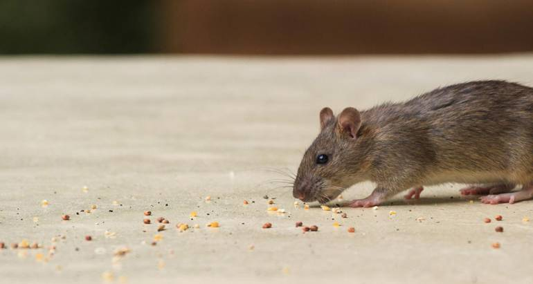 Proper Cleaning Of Rodent Feces (Droppings)