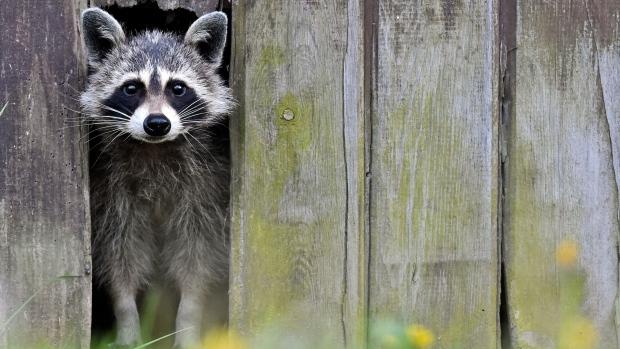 Toronto Raccoon War
