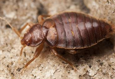 Bed Bug Heat treatment vs Conventional (spray) method